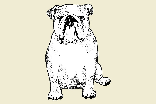 English Bull Dog Line Drawing