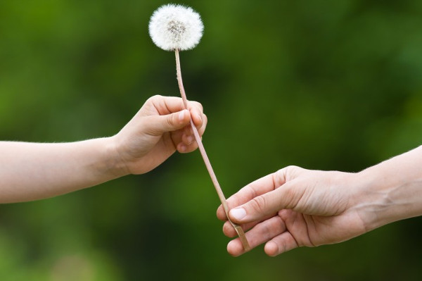 Two Hands Holding a Dandelion on Blurred Background